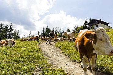 mountain biker and cows, Bikepark Saalbach-Hinterglemm, Salzburg, Austria