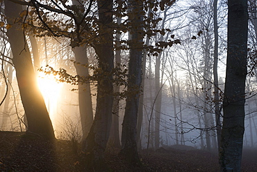 Forest with backlit fog, Berg, Upper Bavaria, Germany