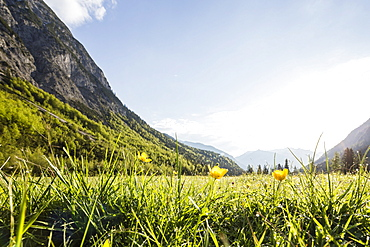 flower meadow in Falzthurn valley, Karwendel mountains, Pertisau, Tirol, Austria