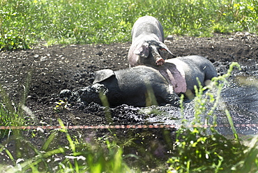 Grazing pigs wallowing in the mud on a pasture. The breed is called Swabian-Hall Swine. Germering, Bavaria, Germany