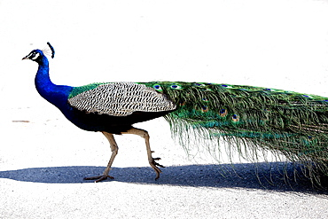 Wild peacock, Israel