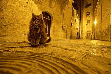 Cat on a road at night, Jerusalem, Israel
