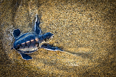 Baby green turtle in the wet sand, shortly before reaching the open sea, Java, Indonesia
