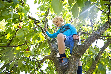 Boy, 5 years old, picking cherries from a cherry tree, Baltic sea, MR, Bornholm, near Gudhjem, Denmark, Europe