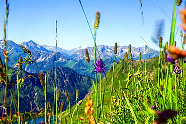 Summery flower meadow with panoramic view over the Allgaeu mountains, Oberstdorf, Germany