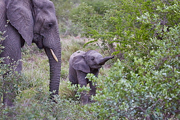 Elephant calf in Krueger National park, South Africa, Africa