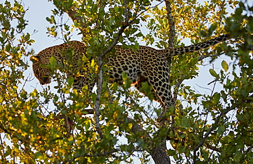 Leopard on a tree in Krueger National park, South Africa, Africa