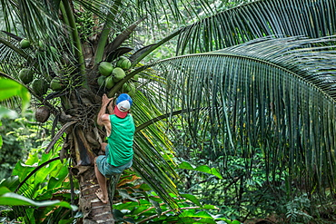 Young man climbing up a palm tree, Sao Tome, Sao Tome and Principe, Africa