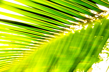 Palm leaves, Sao Tome, Sao Tome and Principe, Africa