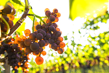 Red grapes on a vine, backlight, near Freiburg im Breisgau, Baden-Wuerttemberg, Germany