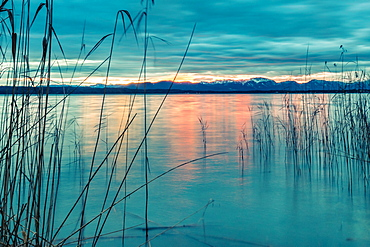 Reeds in the wind on Lake Starnberg at sunrise, Bavaria, Germany
