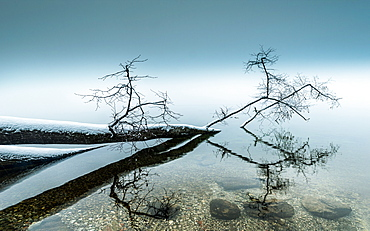 Snow-covered fallen tree lying in the water, Lake Starnberg, Bavaria, Germany