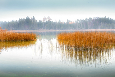 Reflection of reeds in a misty autumn mood at Fohnsee (Ostersee), Bavaria, Germany