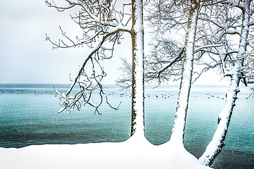 Snow-covered trees on the banks of Lake Starnberg, snowfall in Tutzing, Bavaria, Germany