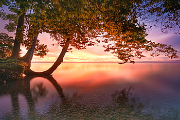 Tree on the shore at sunrise at Lake Starnberg, Tuting, Bavaria, Germany