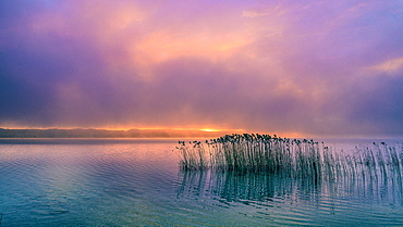 Reeds in the fog at sunrise on Lake Starnberg, Bavaria, Germany