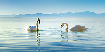 Swans on Lake Starnberg at sunrise in the morning mist, Bavaria, Germany
