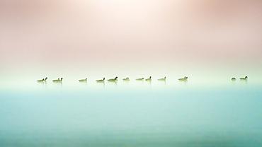 Waterfowl, barnacle geese, on Lake Starnberg, winter rest, Seeshaupt, Bavaria, Germany