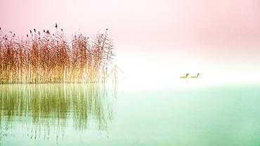 Reeds and waterfowl, barnacle geese, Lake Starnberg, Seeshaupt, Bavaria, Germany