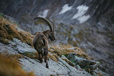 Ibex in the swiss mountains, switzerland, mountains, wild, ibex,