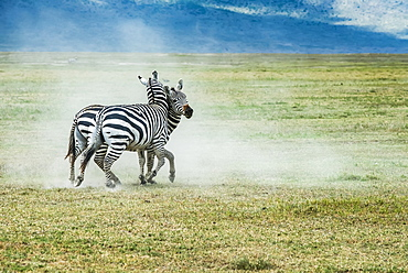 Pair of Zebra (Equus grevyi) stallions fighting on dusty plains of Ngorongoro Crater, Ngorongoro Conservation Area, Tanzania