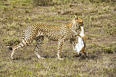 Female Cheetah (Acinonyx jubatus) drags freshly killed Thomson's Gazelle (Eudorcas thomsonii) in the Ndutu area of the Ngorongoro Conservation Area on the Serengeti Plains, Tanzania