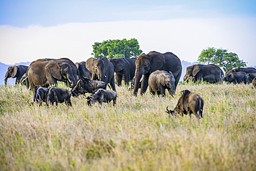 African elephants (Loxodonta africana) tower over grazing Wildebeests (Connochaetes taurinus) in Serengeti National Park, Tanzania