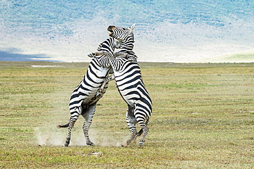 Pair of Zebra (Equus grevyi) stallions rise on hind feet to kick and bite each other as they fight on the floor of Ngorongoro Crater, Ngorongoro Conservation Area, Tanzania