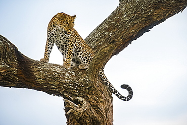 Leopard (Panthera pardus) crouching in tree in the Ndutu area of the Ngorongoro Crater Conservation Area on the Serengeti Plains, Tanzania