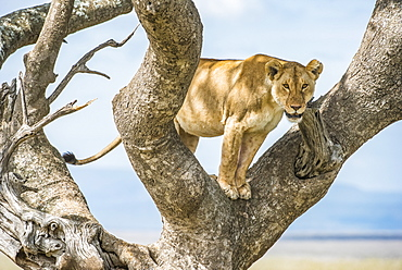 Adult Lioness (Panthera leo) stares down from a tree in Serengeti National Park, Tanzania