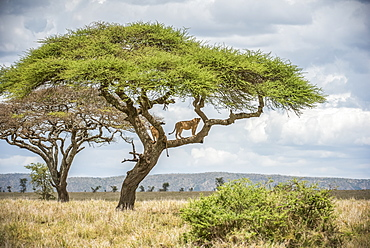 Two adult Lionesses (Panthera leo) peer down from branches of an Acacia tree in Serengeti National Park, Tanzania