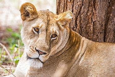 Close-up of female Lion (Panthera leo) resting near tree in Tarangire National Park, Tanzania