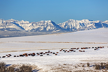 A herd of cattle walking across a snow-covered rolling field with snow-covered mountain range and blue sky in the background, North of Cochrane, Alberta, Canada