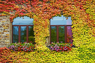 Colourful ivy surrounding two arched windows on stone building, Bruttig-Fankel, Germany