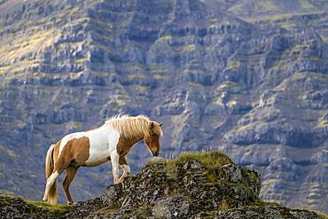 Icelandic horse in the natural landscape, Iceland