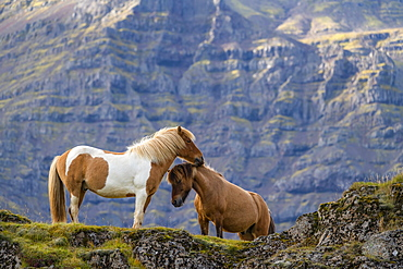 Icelandic horses in the natural landscape, Iceland