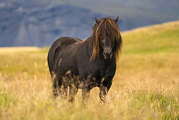 Icelandic horse in the natural landscape, Iceland