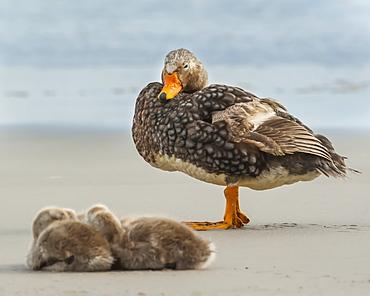 Falkland steamer duck (Tachyeres brachypterus) with chicks on the beach, Saunders Island, Falkland Islands