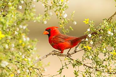 Northern Cardinal (Cardinalis cardinalis), Arizona, United States of America