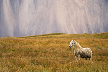 Blond Icelandic horse standing in a grass field with a mountain cliff in the background, Iceland