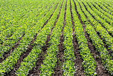 Rows of green potato plants in a field, Taber, Alberta, Canada