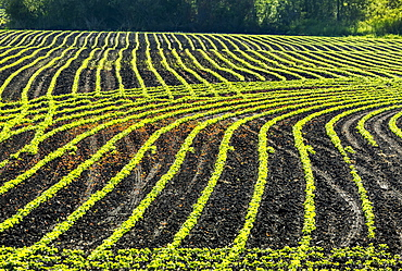Rows of young soybean plants in a rolling field glowing with the light of early morning sun, Vineland, Ontario, Canada