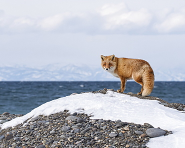 Red Fox (Vulpes vulpes) standing on a mound along the coast with the ocean and coastline in the background, Hokkaido, Japan
