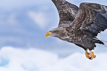 White-tailed eagle (Haliaeetus albicilla) in flight, Hokkaido, Japan