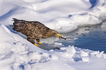 White-tailed eagle (Haliaeetus albicilla) with fish in it's mouth, Hokkaido, Japan