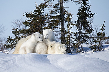 Mother polar beer and twin cubs taken at Watchee Lodge in Wapusk National Park, Churchill, Manitoba, Canada
