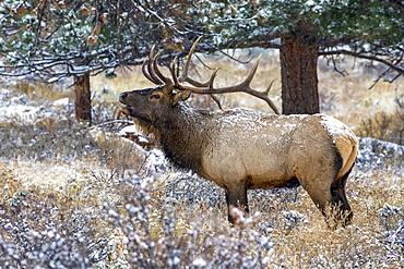 Bull elk (Cervus canadensis) bugling, Denver, Colorado, United States of America