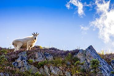 Mountain goat (Oreamnos americanus) on ridge backlit by sun, High Divide Trail, Olympic National Park, Washington, United States of America