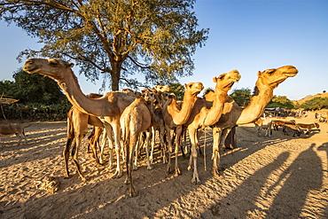 Camels at the Monday livestock market, Keren, Anseba Region, Eritrea