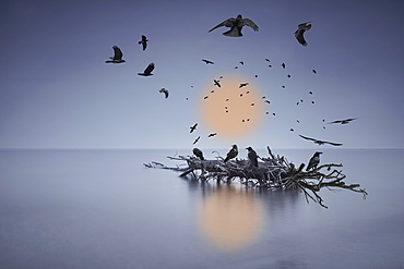 A murder of crows flying or perched on a log in shallow water